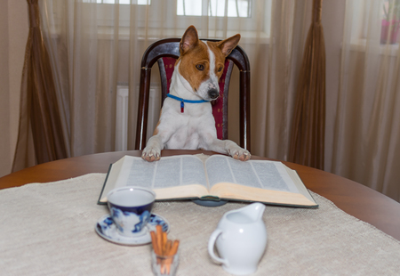 Portrait of smart basenji dog reading big book while sitting on a chair at the table