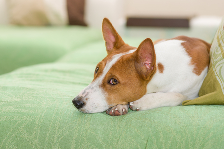 Indoor portrait of boring basenji lying on a sofa and being awake.