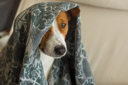 Indoor portrait of royal basenji dog hiding under coverlet in favorite chair closely Stock Photo