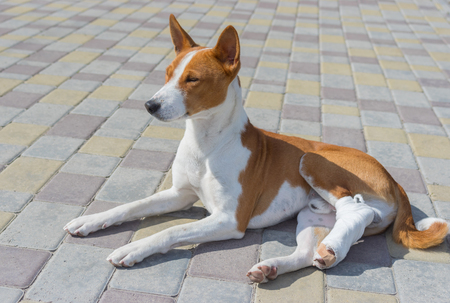 Cute basenji dog with broken bandaged hind feet lying on a pavement at sunny day