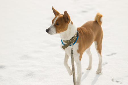 Portrait of mature Basenji dog standing on a fresh snow and looking into the distant