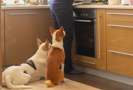 Basenji dog with its mixed breed white friend sitting near stove and patiently waiting till their master finish cooking canine food 免版税图像