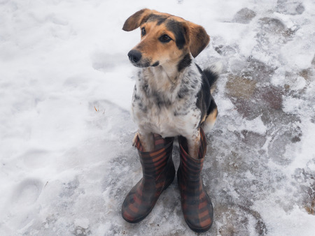 Mixed breed hunting dog sitting on a wet snow wearing human wellingtons Reklamní fotografie