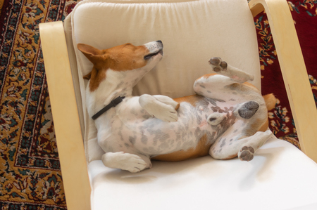 Sleepy Basenji dog being in funny sleeping pose in the chair - top view 免版税图像