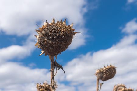 Beautiful ripe sunflower against blue cloudy sky at fall season Фото со стока