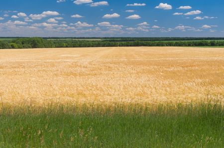 Classic summer landscape with wheat field in June, central Ukraine