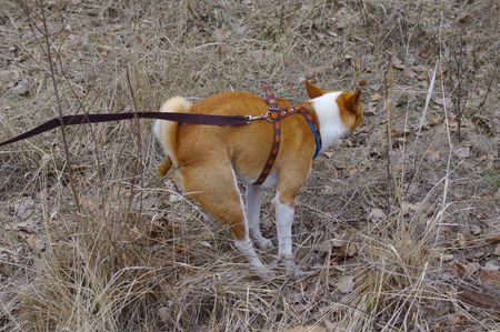 Basenji dog pooping outdoor being on a lead