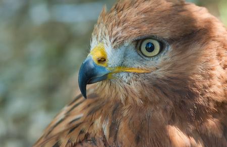 Nice portrait of bird of prey (Long-legged Buzzard) in pastel shades (shallow dof)