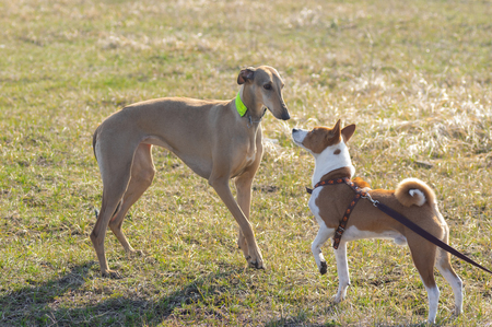 Basenji male (right) and hortaya borzaya female (left) dog first snifing around