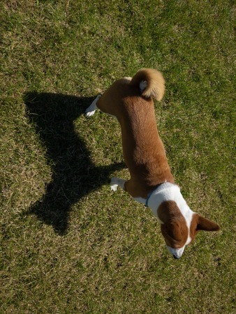 Top view on basenji dog standing on a lawn and casting the shadow in sunny summer day 版權商用圖片
