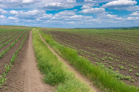 Summer landscape with earth road between young growth of maize and sunflowerfields in central Ukraine