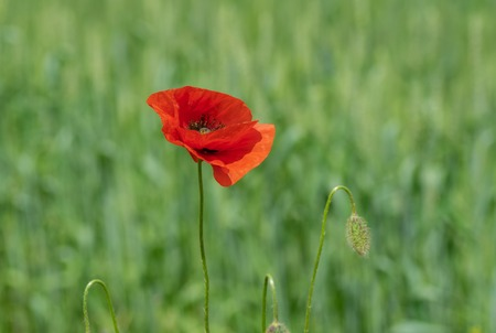 Lonely opened bud of red poppy in wild field at summer time Imagens