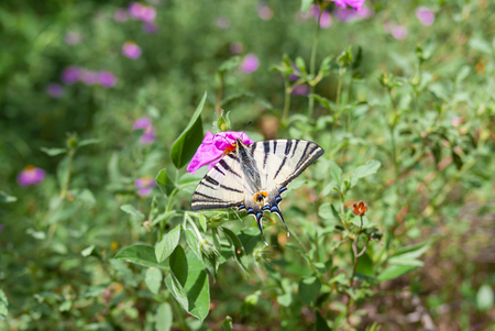 Old World Swallowtail (Papilio machaon) butterfly gathering nectar on a spring Crimean flower