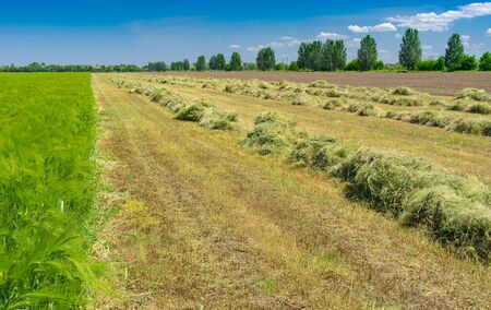 Spring landscape with rows of mown young wheat using as forage in central Ukraine