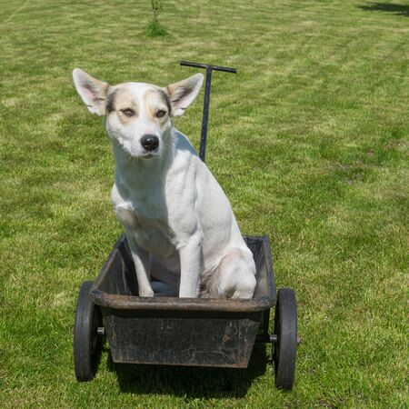 Serious and cautious young mixed breed white dog waiting master would drive this cool canine taxi - wheel barrow