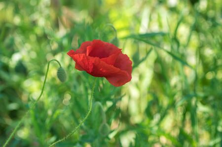Lonely opened bud of red poppy in wild field at spring time Stock Photo