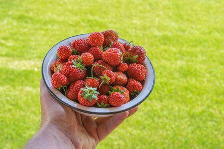 Human hand taking metal pan full of organic ripe strawberry against green natural background