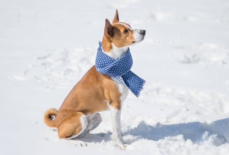Mature Basenji dog sitting on a fresh snow and looking up Stock Photo