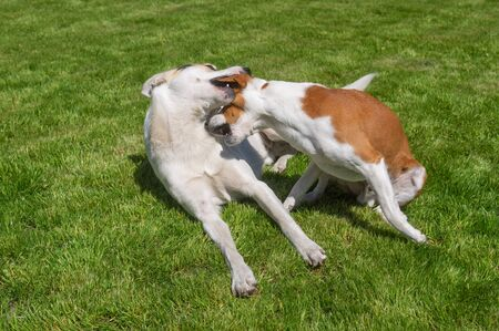 Basenji dog plays with mixed breed bigger dog while resting on a fresh lawn