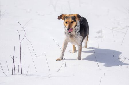 Hunting female dog licking when smell mice scent under fresh snow Stock Photo