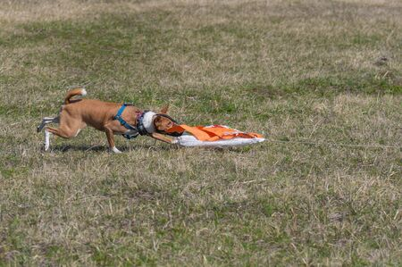 Basenji dog female catching prey imitation while doing coursing in spring field Stock Photo