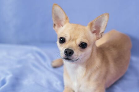 Studio portrait of creamy curious Chihuahua puppy lying on blue background