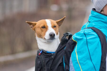 Portrait of satisfied Basenji dog while sitting it inside of comfortable master backpack instead of outdoor walking on autumnal street