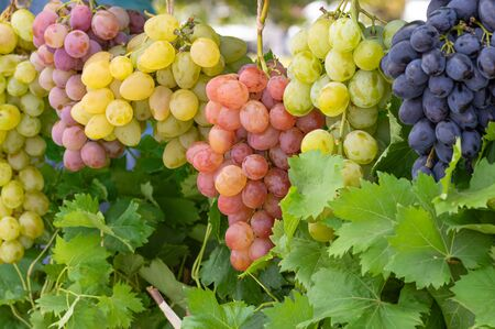Bunches of different common grape vine species hanging together