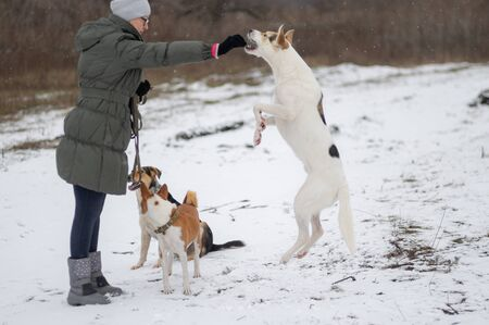 White mixed-breed dog jumping on hind leg on a snow covered ground for to get some feed from female master hand while other dogs is waiting for their turn