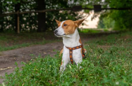 Outdoor portrait of young basenji dog lying on fresh grass at roadside while waiting for master at summer season