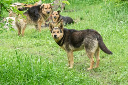 Leader of stray pack dogs seriously looking warning it would command attack any stranger