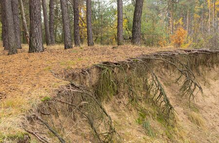 Landscape with naked roots of trees in sandy soil  in pine forest at fall season Stock Photo