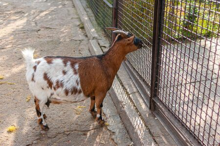 Goat female standing at chain-link fence and looking outside