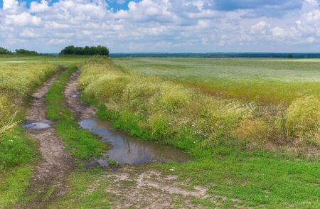 Landscape with dirty road between flowering coriander fields at  summer day in Ukraine