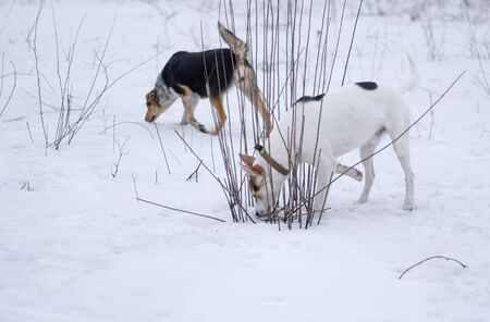 Pair of mixed breed male and female dog search mouse holes while being in hunting stage at winter season