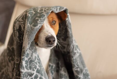 Indoor portrait of basenji dog hiding under coverlet while sitting in a chair 版權商用圖片