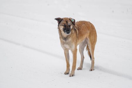 Outdoor portrait of yellow mixed-breed, stray dog standing lonely on a snow covered road and looking with hope