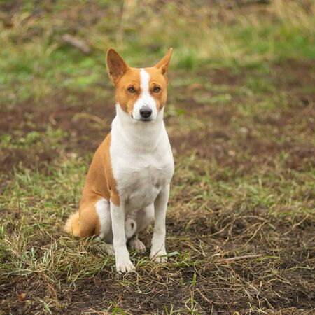 Nice outdoor portrait of royal mature basenji dog sitting proudly on an autumnal ground and looking at the camera 版權商用圖片