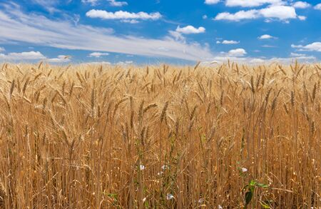 Rows of ripe wheat closeup against blue cloudy sky