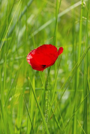 Red poppy standing lonely among green grass blades