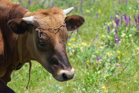 Close-up portrait of cute young bull-calf on summer flowering meadow