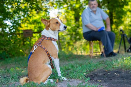 Nice outdoor portrait of gorgeous basenji dog having rest at summer morning on the ground while master sitting on a stool at some distance