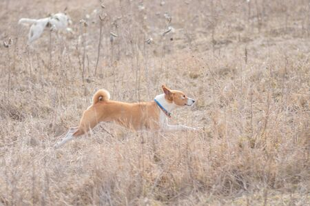 Muscular basenji dog galloping in wild grass while hunting outdoors Foto de archivo