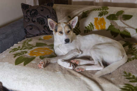Portrait of Home alone white cross-breed of hunting and northern dog lying lonely on a sofa