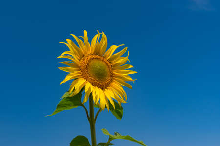 Lonely beautiful sunflower at flowering time against blue cloudless sky