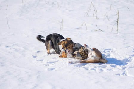 Basenji dog wearing winter coat  fighting with bigger mixed breed black female dog on fresh snow at winter season