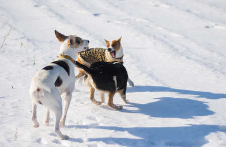 Basenji dog wearing winter coat  fighting off with two bigger mixed breed black and white dogs on fresh snow at winter season