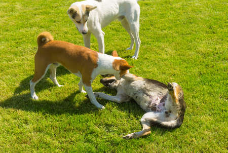 Basenji male dog bites black female dog for to show younger white male dog (standing nearby) who is leader in canine family