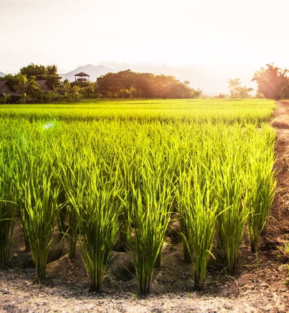 countrysides: Rice plants in the open farm in the sunlight with flare  It is a rural lifestyle that can generally be seen in the countrysides of Thailand