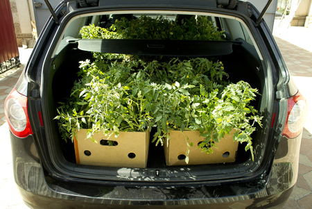 seeding: Packed in a tomato seeding